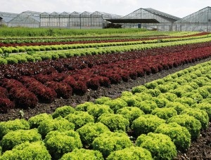 Die bunte Insel: Gemüse von der Reichenau © Achim Mende