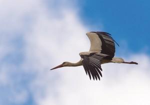 Storch im Anflug © Oliver Hegenbarth